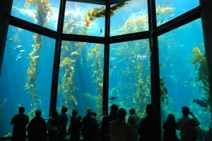 Monterey Bay Aquarium_Kelp Forest