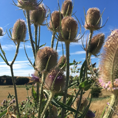 thistles at southease east sussex by river ouse