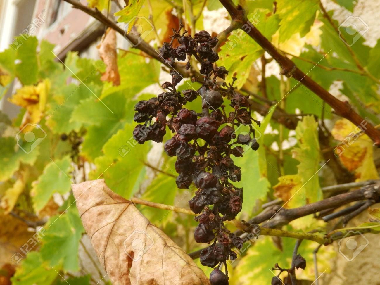 a-withering-bunch-of-grapes-on-the-vine